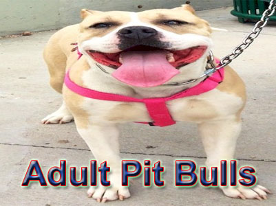 adult PitBull pictures