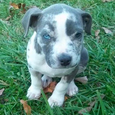 merle PitBull puppy picture